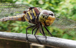 Russia developing Dragonfly drones