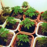 Georgian opposition leaders facing 12 years prison for planting Marijuana