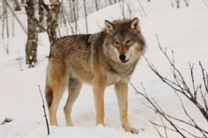 4 Year Old Siberian Girl Walks 8 Km In Waist Deep Snow, At Night, Braving Wolves, To Get Help For Dying Grandma