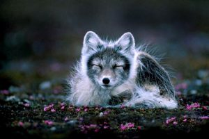 Stunning Pictures Of 'Pink' Arctic Fox Basking In Sunrise On Yamal Peninsula, Siberia.