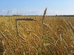 Russian Wheat Expected to Benefit From Mild Weather, Good Snow Cover