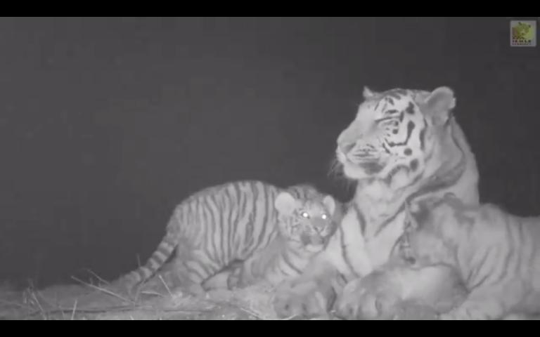 Video: Rare Tiger Cubs Filmed Frolicking In Siberia