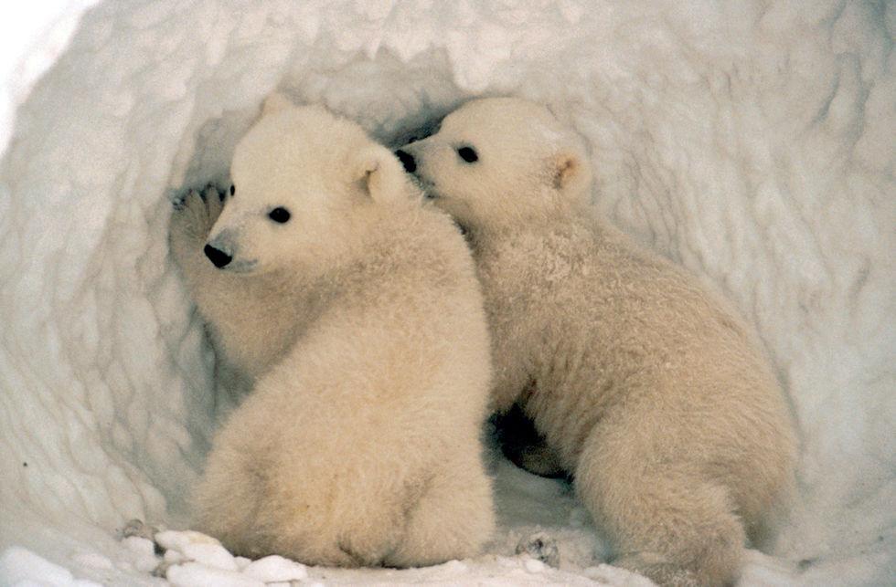 Someone Tell Al Gore - Polar Bears Overrunning Human Settlements In Russian Arctic