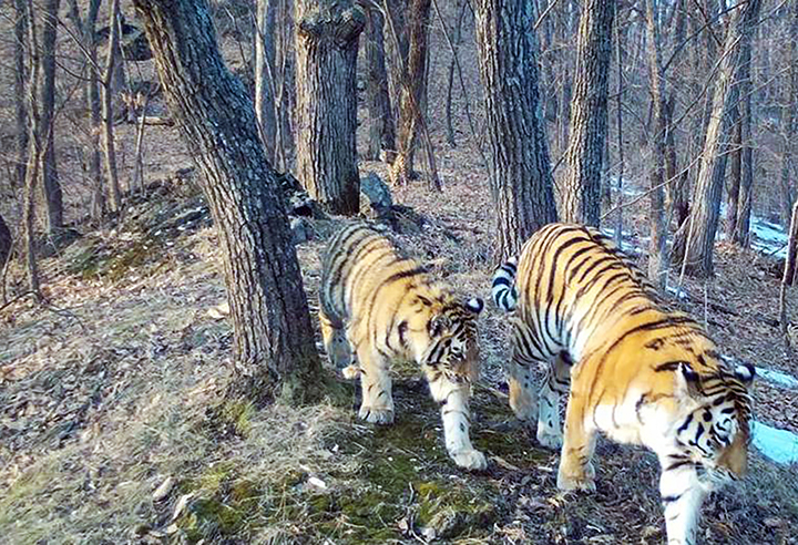 Double Joy As Two New Cubs Of Endangered Amur Tiger Registered In Russian Far East