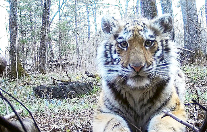 A Tigress Comes Out Of The Woods In Russia...Why?